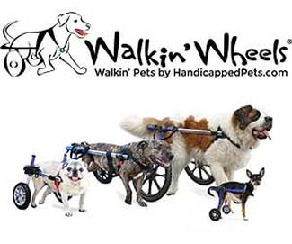 Large and small dogs standing in wheelchairs.